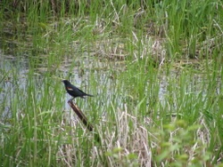 Eldorado Marsh Bird